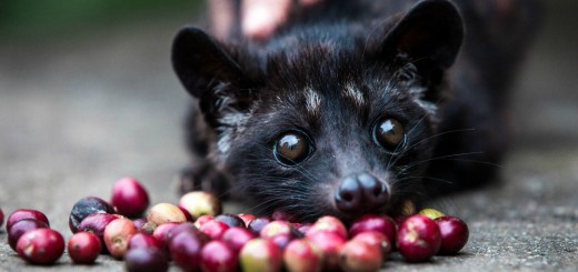 Luwak Coffee